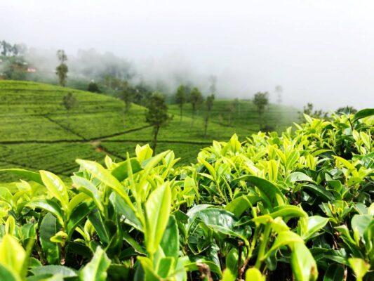 Økologisk grønn te